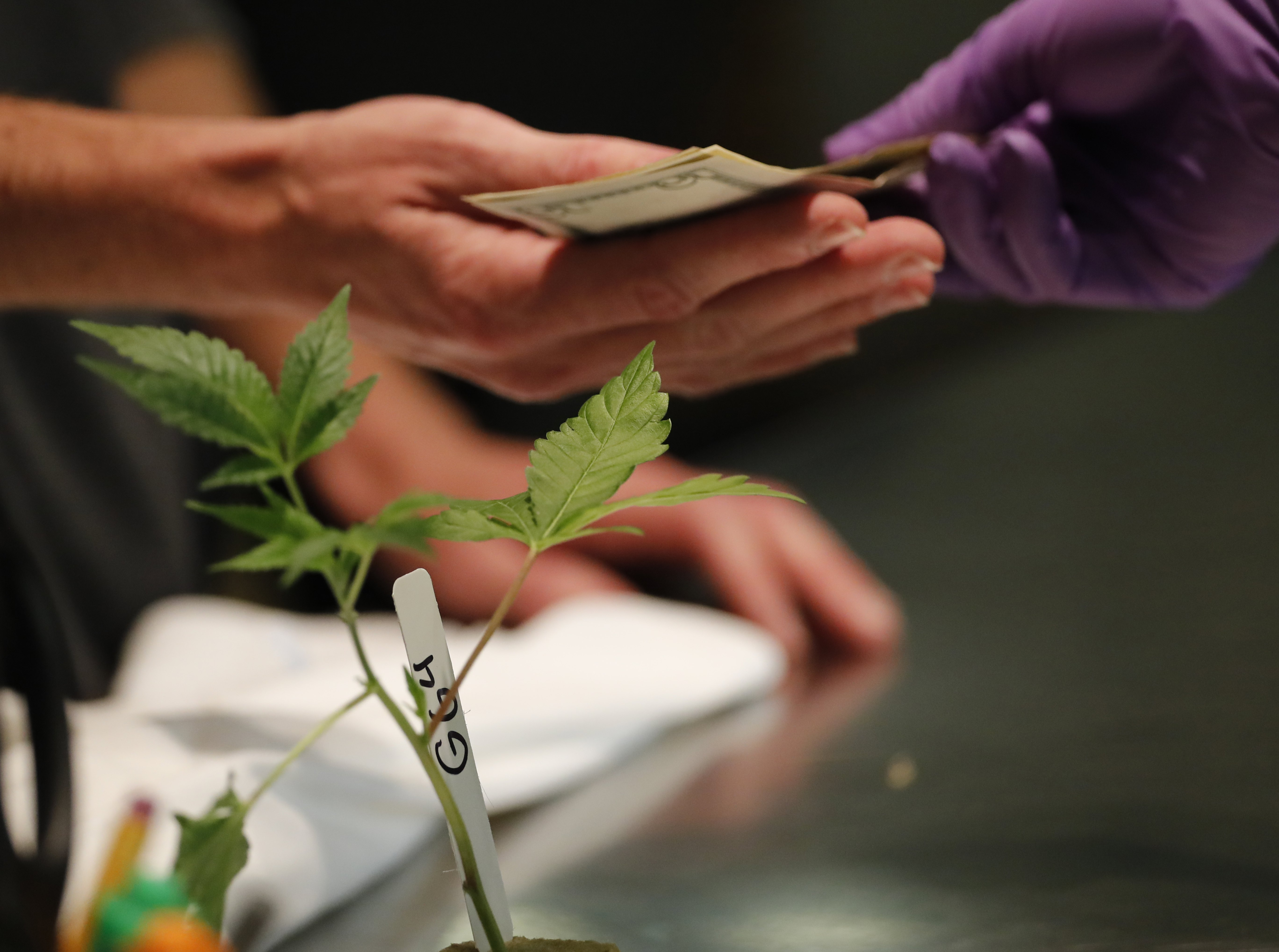 A retails clerk sells a cannabis plant to a customer at the Harborside cannabis dispensary in Oakland, California, USA, 01 January 2018. In November 2016, California voters legalized recreational marijuana for adults of 21 and older and the state was given a year to set retail market regulations.