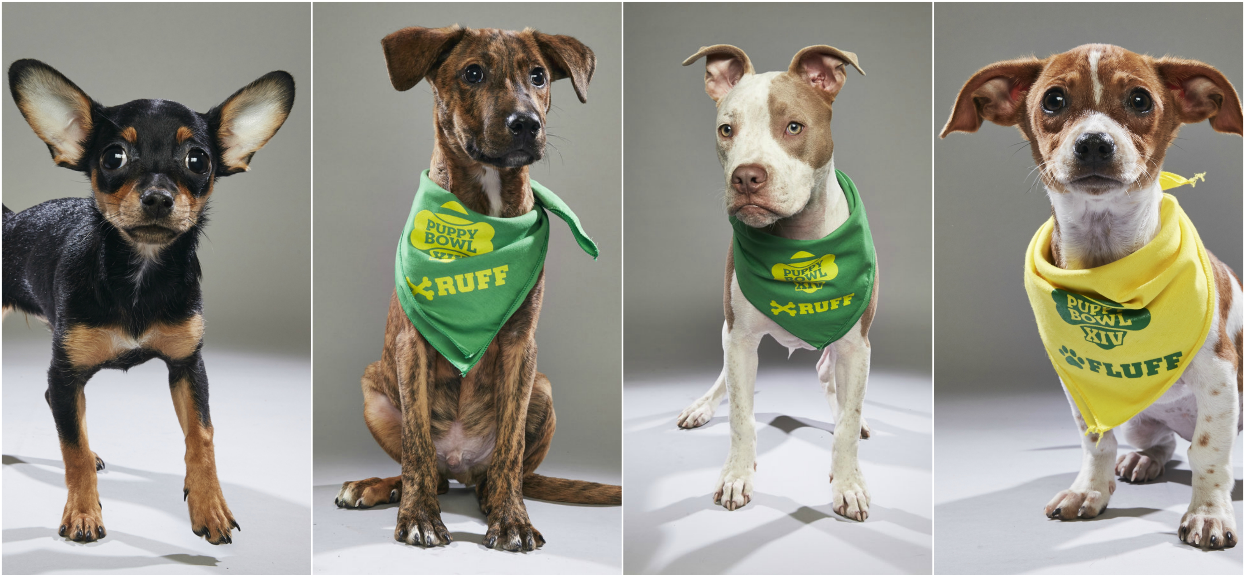 Philly Dogs Participating In The Puppy Bowl.