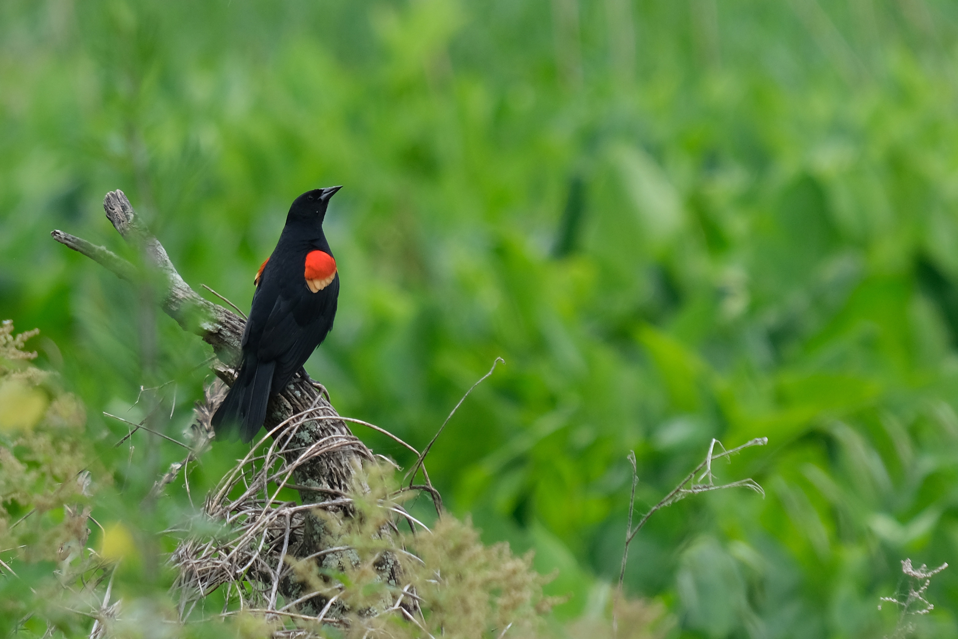 Redwinged blackbird Photo by Marci Green