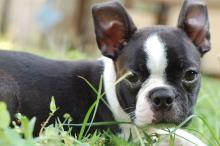 """The new """"LibreLaw"""" is named after a Boston Terrier that was left for dead in Lancaster."""
