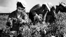 "Mexican migrant workers, employed under the Bracero Program to harvest crops on Californian farms, are shown picking chili peppers in this 1964 photograph. The Bracero Program, a labor agreement between the United States and Mexico, supplied Californian farms in 1964 with 100,000 Mexican laborers. Bracero stems from the Spanish word for arm, ""brazo,'' and refers to the hard manual labor. (AP Photo)"