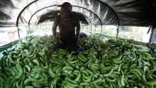 A worker at a banana farm in Apartado, Uraba, Colombia on Mar. 17, 2017. EFE/LUIS EDUARDO NORIEGA A.