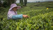 A woman harvests tea leaves at the plantation near the city of Zunyi, Guizhou province, China, 29 April 2017 (issued 01 May 2017). EPA/ROMAN PILIPEY