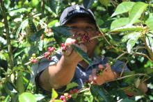Workers on Panama's specialty coffee plantations, like these seen on Nov. 27, 2017, painstakingly care for the coffee shrub trees from the time they bloom until the harvesting of the mature coffee beans, in order to obtain the finest, highest priced coffees in the world.