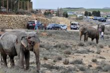 An injured elephant rests after the lorry in which the animal was traveling overturned at A-30 road in Albacete, Spain, Apr. 2,l 2018. EPA-EFE/MANU