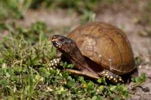 A box turtle makes its way across the ground in the country near Commerce, Texas, USA, May 8, 2018. EPA-EFE/FILE/LARRY W. SMITH