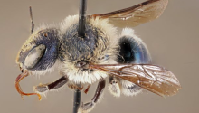 This blue calamintha bee specimen was collected in 2002 in Placid Lakes and is one of five specimens at the Florida State Collection of Arthropods in Gainesville. FLORIDA MUSEUM PHOTO BY CHASE KIMMEL