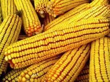 """La palabra """"maíz"""", de origen amerindio,se expandiópor las lenguaseuropeas gracias a las traduccionesde las crónicas de losexploradores españoles en las Américas."""