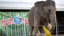 """Un elefante de los hermanos Ringling y Barnum & Bailey Circus come heno durante la Experiencia detrás de las escenas, como parte de la presentación de su show Circus XTREME en la American Airlines Arena en Miami, Florida, EE.UU., 13 de enero 2016 (reeditado 15 Enero de 2017). Según una declaración de Ringling Brothers y Barnum & Bailey Circus el 15 de enero de 2017, el circo terminará lo que llama """"El Gran Espectáculo de la Tierra"""" después de 146 años. EFE"""