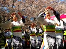 The TamagawaDance and Drum Troupe perform at the 20thannual Cherry Blossom Festival. Photo: Peter Fitzpatrick/AL DIA News