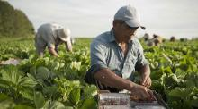 Temen por el futuro de los trabajadores agrícolas