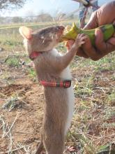 Ratas para detectar la tuberculosis en África