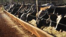 Chupinguaia, BRASIL - 28 de junio: Los toros se alimentan de un comedero en un corral de engorde de ganado en el Amazonas el 28 de junio de 2017, cerca de Chupinguaia, el estado de Rondonia, Brasil. Brasil es el mayor exportador mundial de carnes rojas y aves de corral y anualmente exporta más de $ 12 mil millones por año. (Foto por Mario Tama/Getty Images)