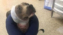 """A female dog, nicknamed """"Brownie,"""" was found with open wounds and covered in maggots. (PSPCA)"""