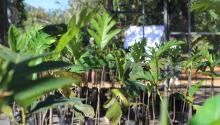 The cultivation of Breadfruit is one of the new resources for the economic and environmental recovery of Puerto Rico, after the devastation of Hurricane Maria. Photo courtesy of Amasar LLC.