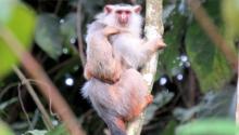 New species of titi monkey discovered. Photo: Rodrigo Costa Araújo
