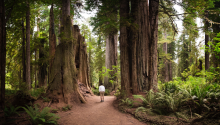 Rear View Of Man Walking At Forest in Redwoods National Park, USA. Photo: Getty Images.