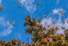 Butterflies on a tree in Michoacán, Mexico. Photo: Getty Images.