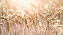 El gluten seencuentraen las semillasde trigo y otros cereales de secano. Foto: Evi Radauscher