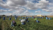 Farm Labor. Source: Huffington Post.