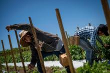 Chiapas laborer working in a tomato plantation in Guánica, Puerto Rico.Afp Photo.
