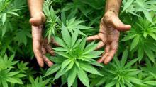 A step closer to marijuana regulation . Photo from CIPER.