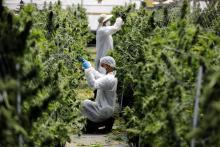 Marijuana plantation.REUTERS, Photo by Amir Cohen.