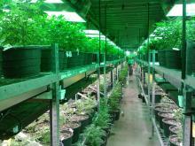 La industria del cannabis en Estados Unidos vale 3.000 millones de dólares