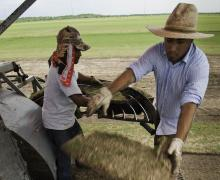 Migrant farm workers harvest sod on a farm outside Guy, Texas. Photo: Bob Nichols/USDA.