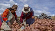 Potatoes have been a staple food in the Peruvian Andes for 7,000 years. Via NYT.
